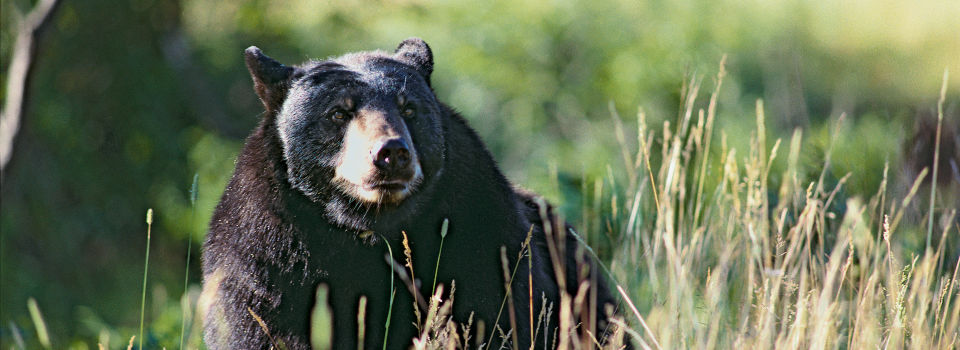rondreis-amerika-Bear-Wildlife-Viewing